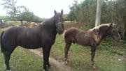 продам лошадь 5-ти лет