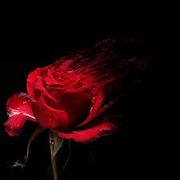 Роза магическая помощь гадание услуги